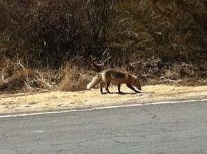 ugly fox