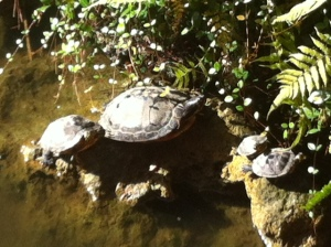 Turtles share the pond with tiny fishes, who all keep the mosquitos controlled.