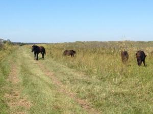 Lead stallion still on the trail.
