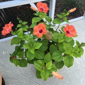 Hibiscus flower, going great guns in blossom. This colored flower lasts two days, making it a real treat.