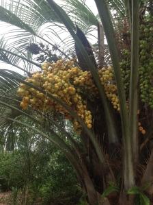 pindofruit