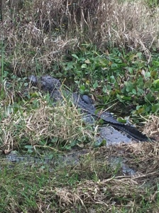 First gator of the new year!