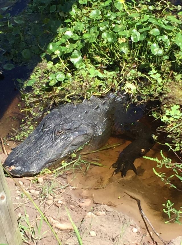 anniversary alligator